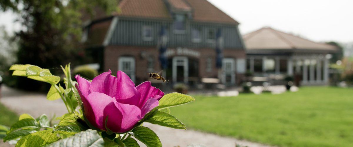 Biene fliegt zur Wildrose mit Café und Restaurant Flora im Hintergrund